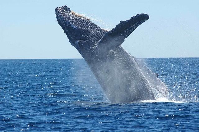 humpback-whale-1945416640