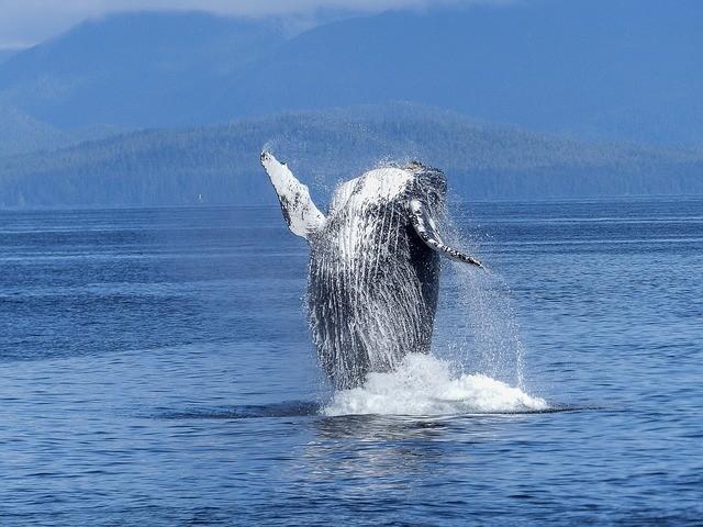 humpback-whale-431902640